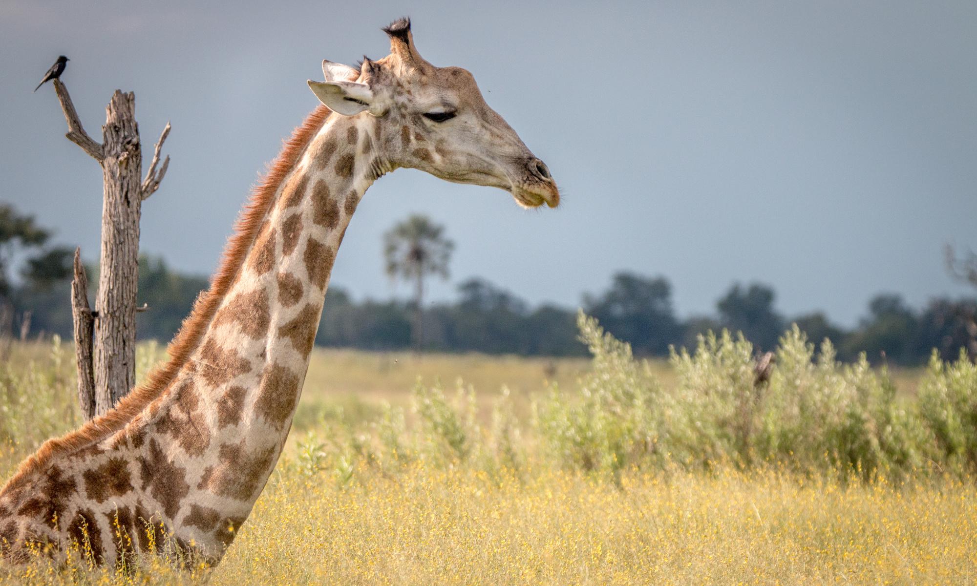 A Giraffe sitting in the grass in the Okavango Delta, Botswana.
